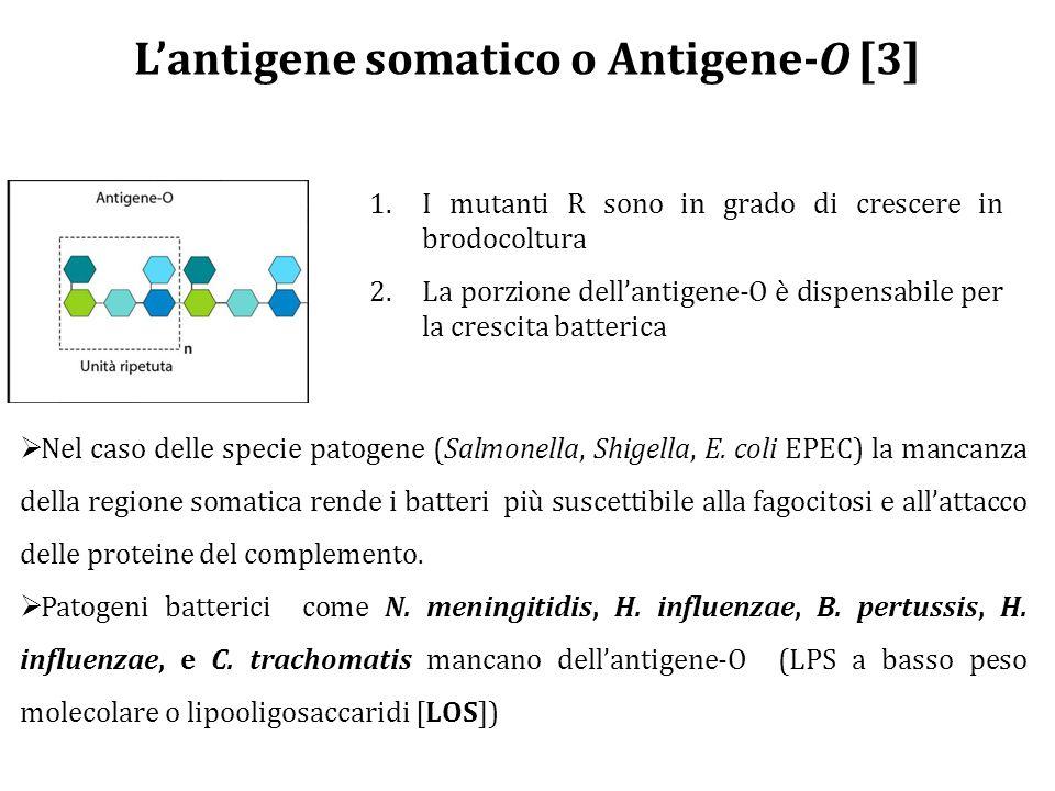 L'antigene somatico o Antigene-O [3]